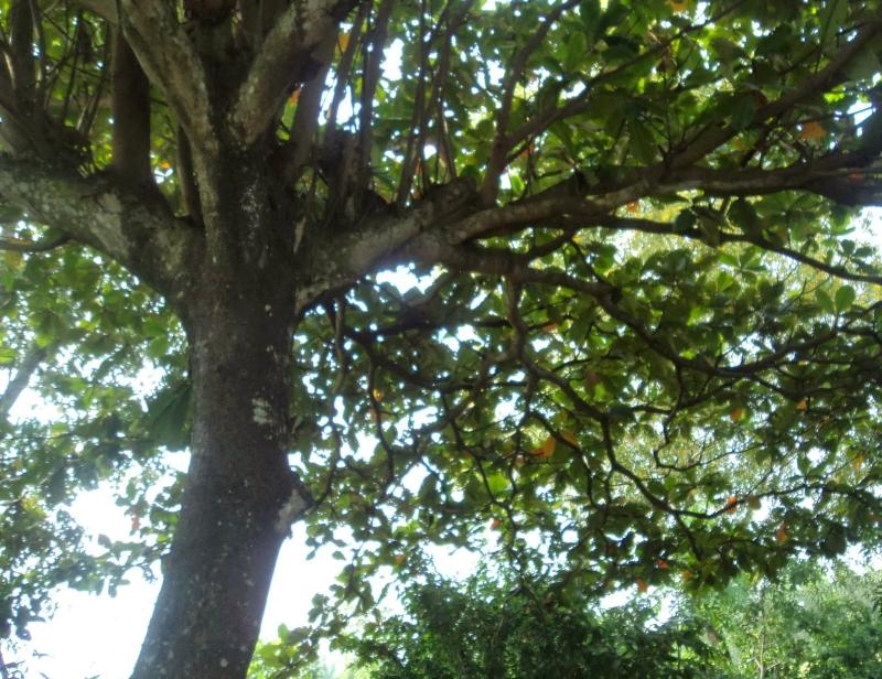Trải qua bao nắng, mưa, gió, bão nhưng cây bàng vẫn hiên ngang đứng đó: xanh tươi và lớn lên theo thời gian