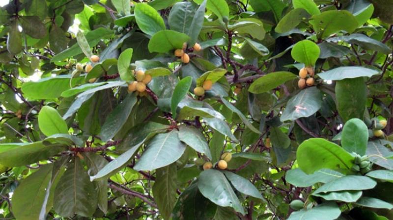 Quả bàng chín vàng ẩn mình trong kẽ lá