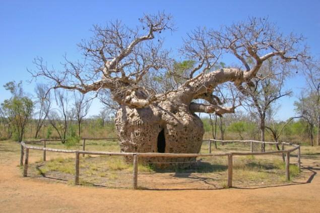 Cây bao báp ma quái ở Úc