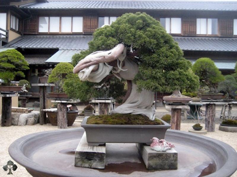 Cây bonsai 800 năm tuổi ở Sunkaen