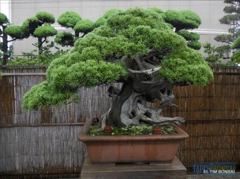 Cây bonsai Kimura