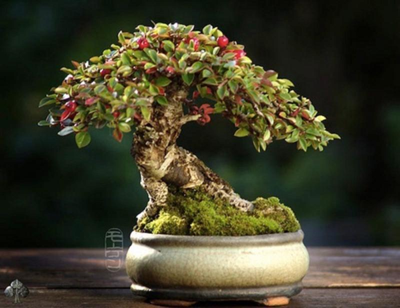 Cây bonsai nhỏ Shohin