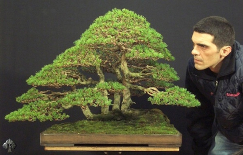 Cây bonsai Silvestris