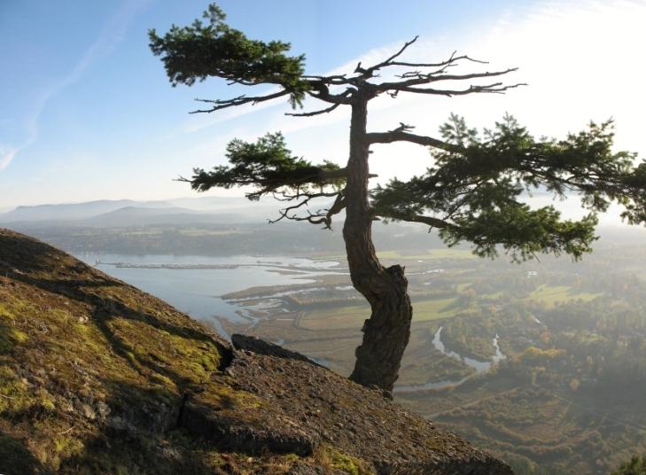 Cây Burmis là một cây thông mềm có hình người nằm gần Alberta, Canada.