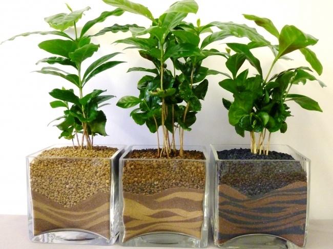 Người ta thường trồng cây cà phê thân nhỏ giống Arabic hoặc Công-gô