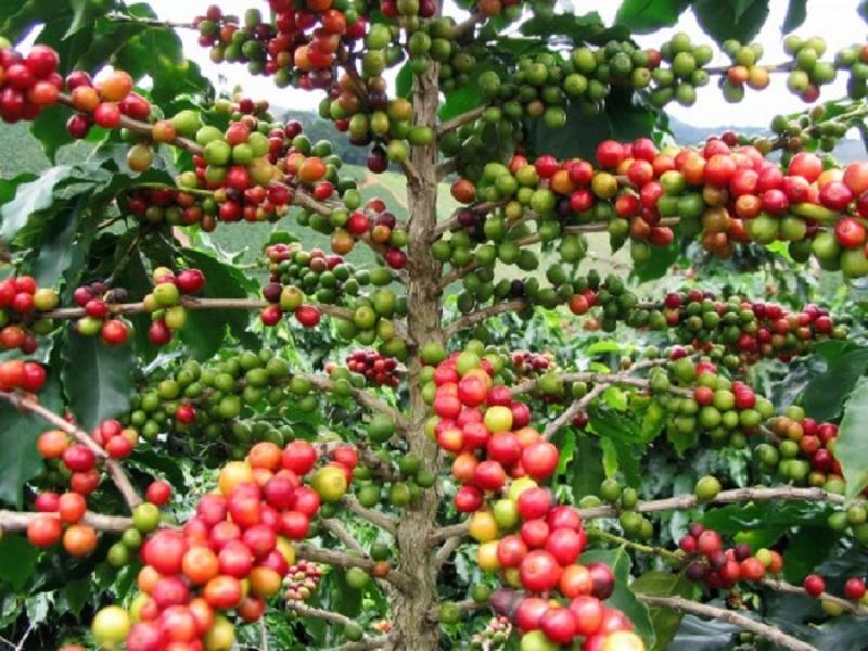 Cây cà phê có khả năng hút ẩm hiệu quả