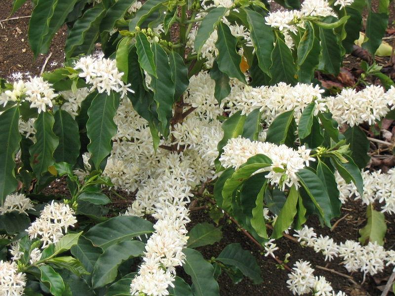 Cây cà phê đang kỳ ra hoa
