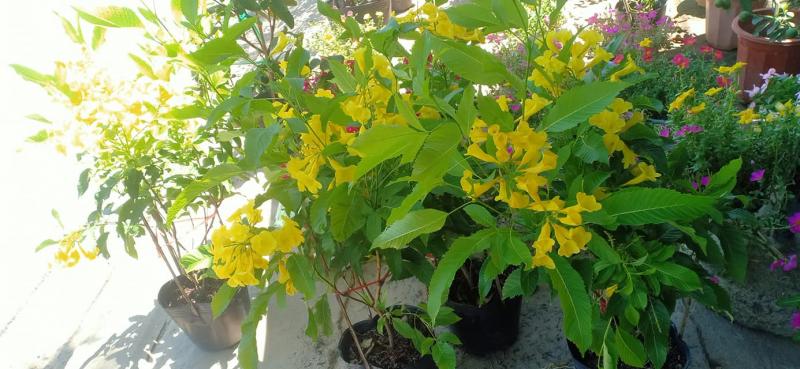 Cây hoa cảnh ở Đại Phú