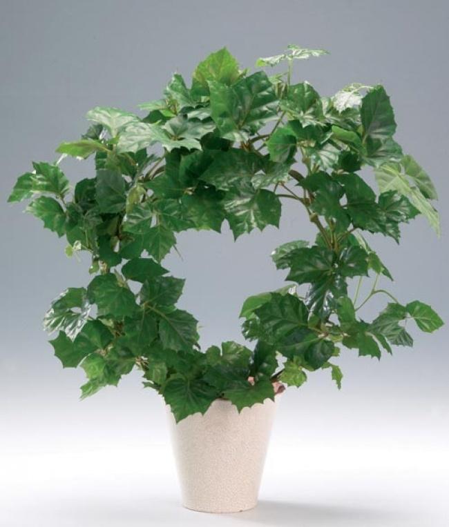 Chúng cần bóng râm mát và thường xuyên tưới ẩm để cây luôn tươi tốt