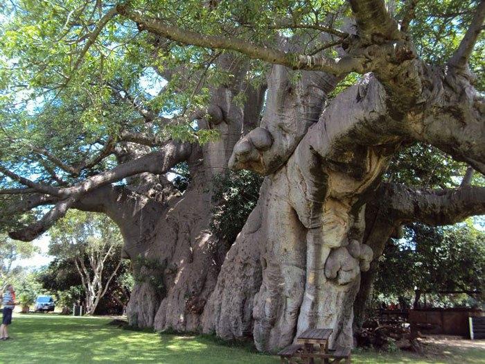 Cây cổ thụ Sunland Baobab