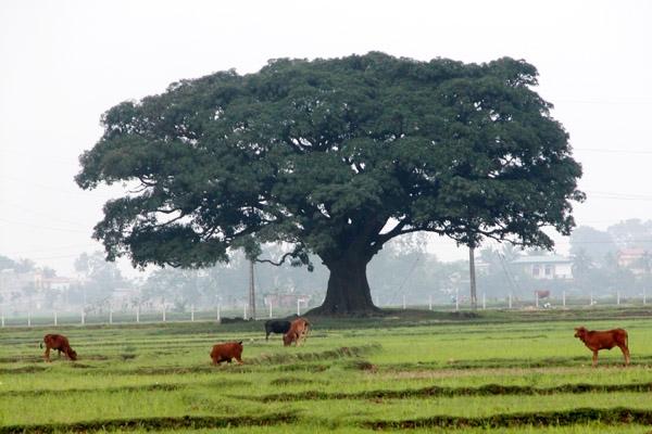 Lá đa to, xanh mát, mọc um tùm trên những cành cây tạo thành chiếc ô xanh khổng lồ.