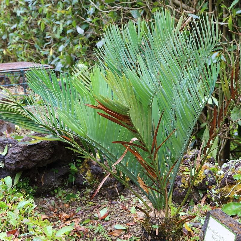 Cây Encephalartos hirsutus
