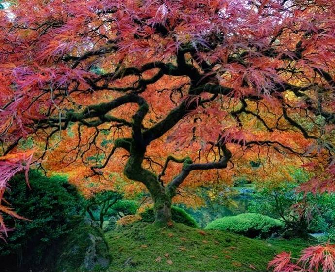 Vẻ đẹp hút hồn của cây gỗ thích