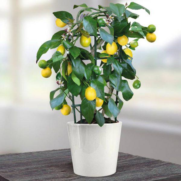 Cây họ cam quýt – Citrus limon
