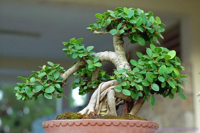 Cây họ đa, sung, si – Ficus