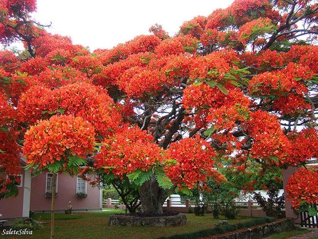 Nhìn từ xa, cây phượng như khoác lên mình một chiếc váy đỏ thật tráng lệ