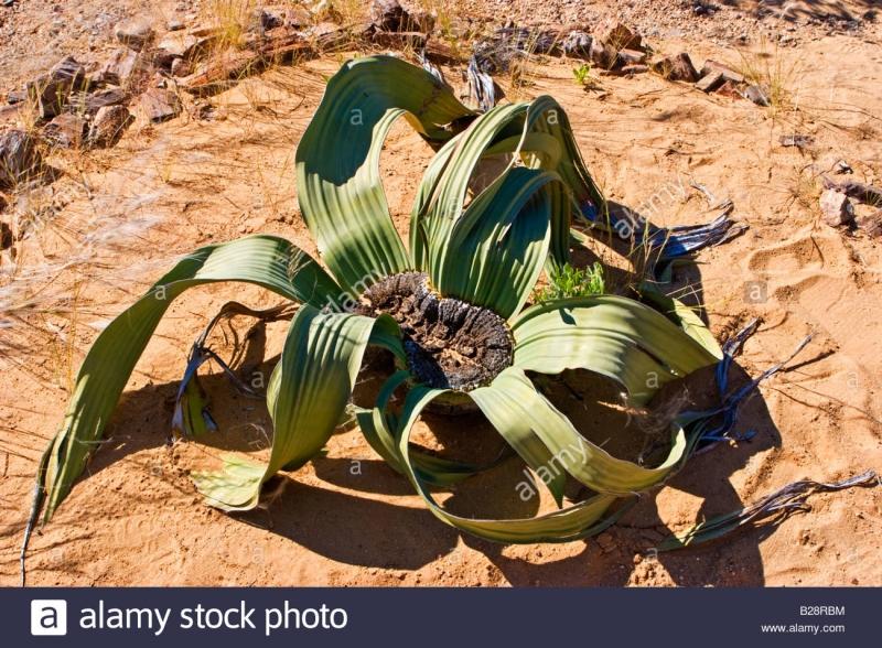 Cây hóa thạch sống