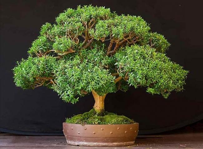 Hương đào thường được người ta tạo cảnh dáng bonsai nhằm mục đích trang trí