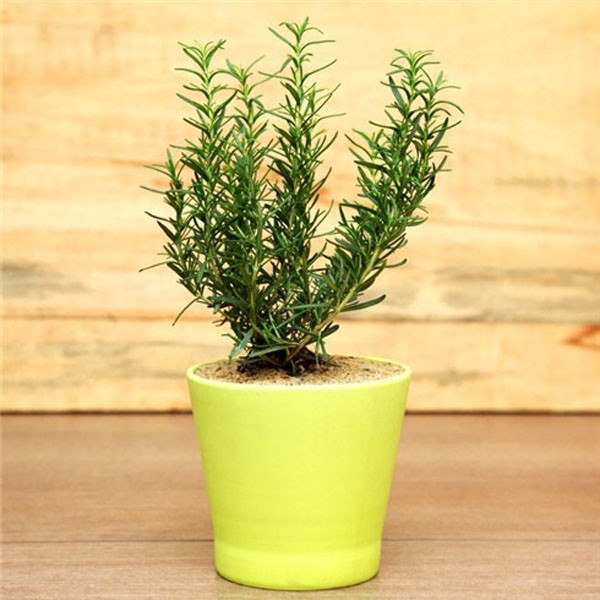 Cây hương thảo có chứa các thành phần hoạt chất chống oxy hóa cũng như các hợp chất kháng viêm