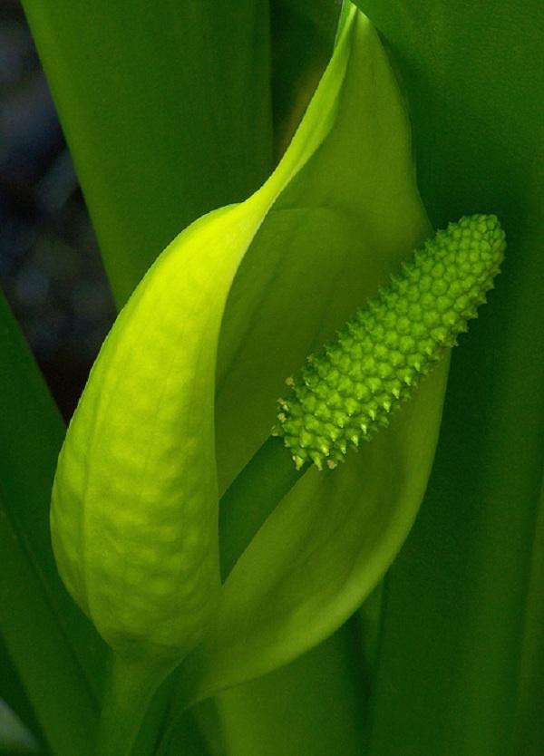 Cây Lysichiton americanus