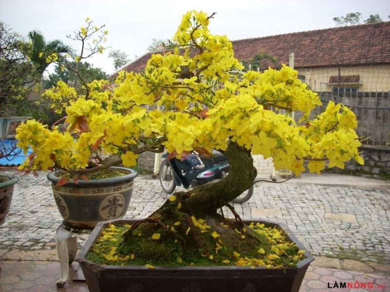 Hoa mai tượng trưng cho sự cao quí