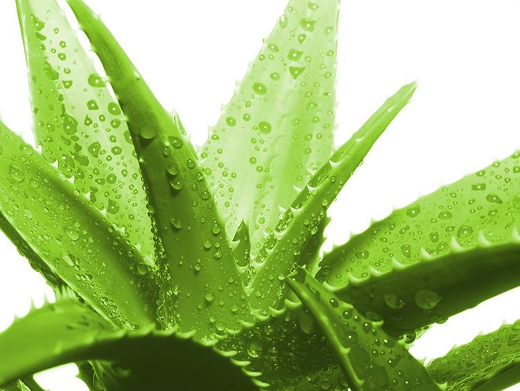 Cây nha đam có khả năng tiêu diệt các vi sinh vật trong không khí, hấp thụ các mùi khó chịu