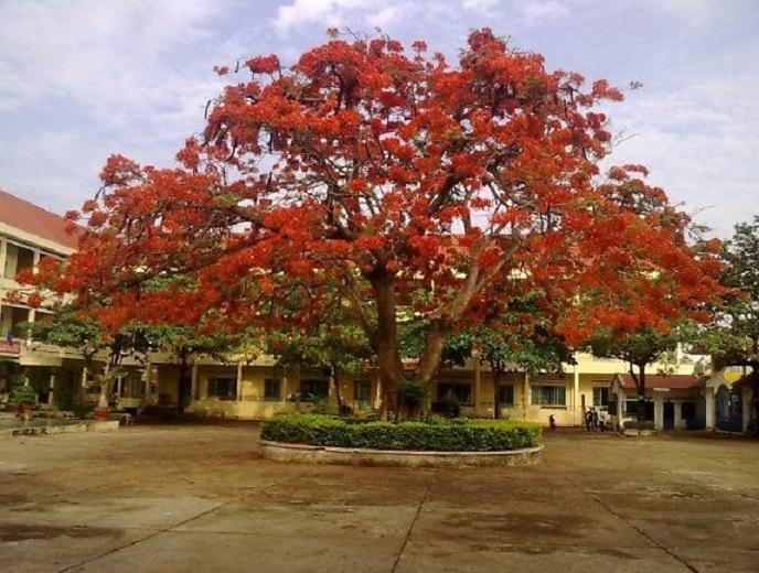 Thân phượng to đến mức phải cần bốn học sinh ôm mới hết được một vòng thân cây.