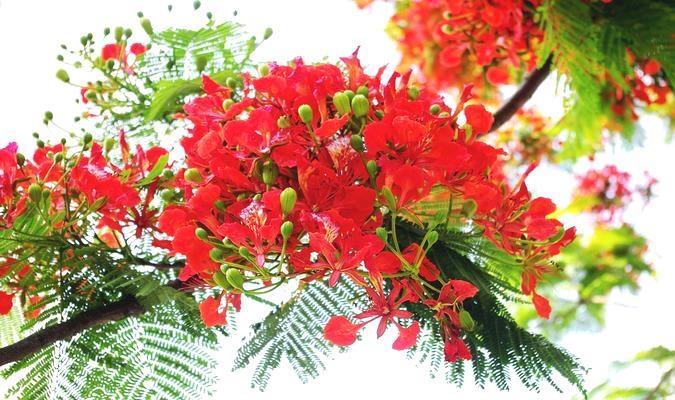 Vẻ đẹp của hoa phượng