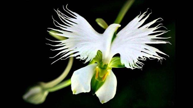 Cây Platanthera praeclara hay cây lan tua trắng