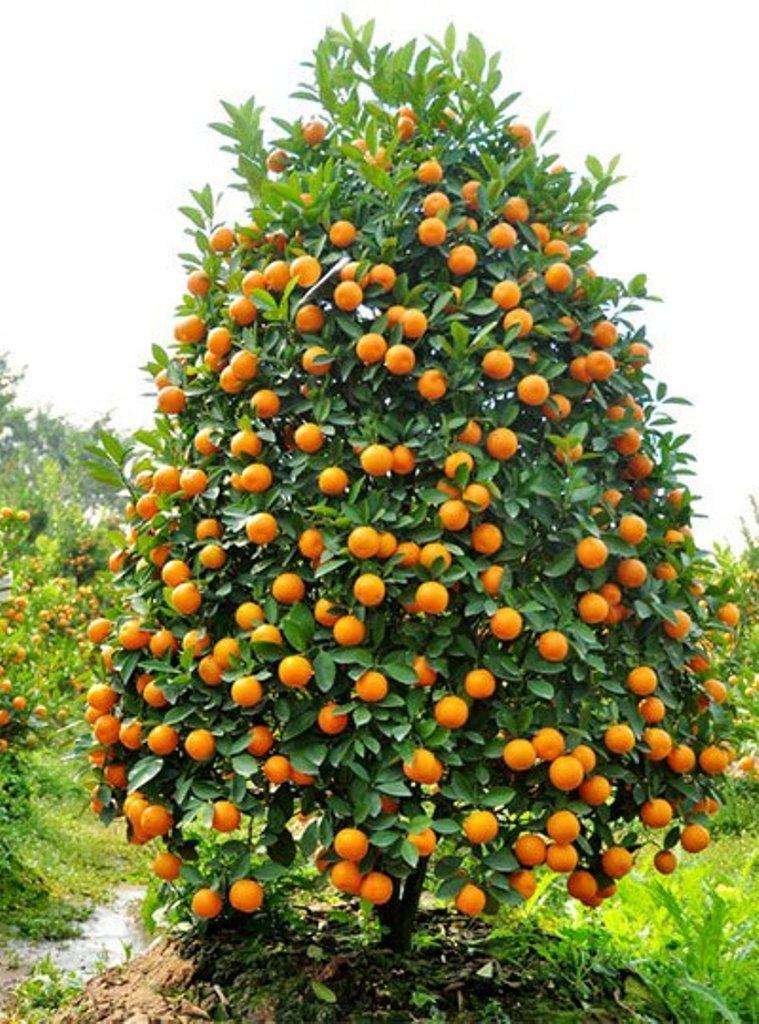 Quất là loài cây mang lại ý nghĩa sum họp, đủ đầy