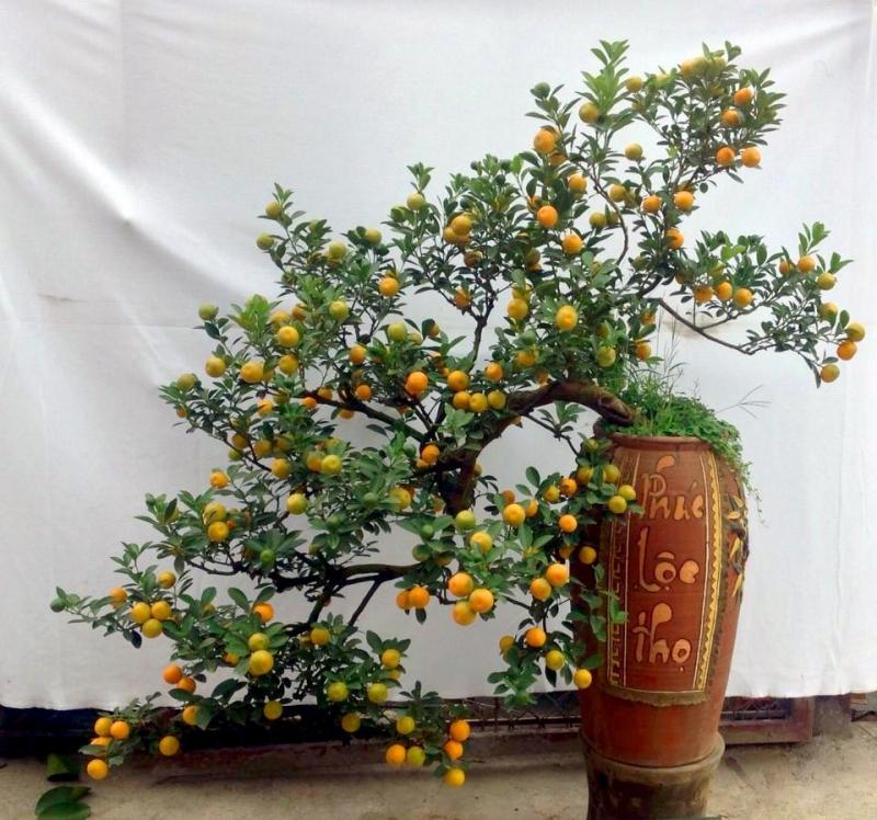 Cây quất bonsai