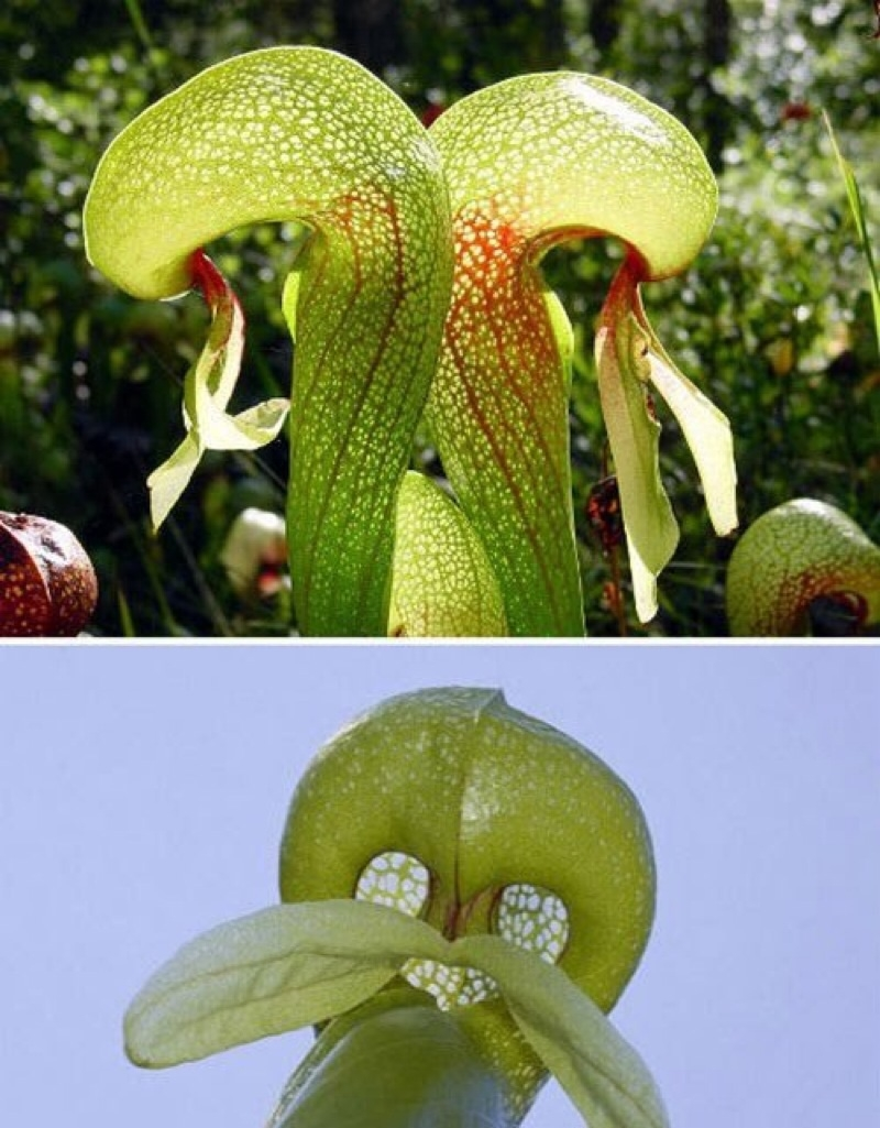 Cây Cobra Lily