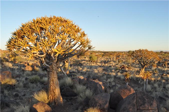 Cây rung động ở Namibia
