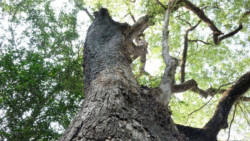 Ngọn cây gần ngang tầng thượng ngôi nhà hai tầng, dày đặc lá, lúc nào cũng xanh rì.