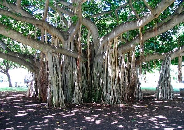 Những nhánh si dài mọc hướng xuống như những mái tóc buông mình thuôn dài màu hạt dẻ rất đẹp.