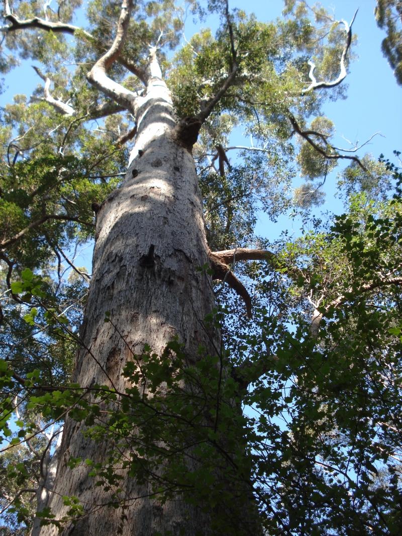 Gothmog Oak, Úc