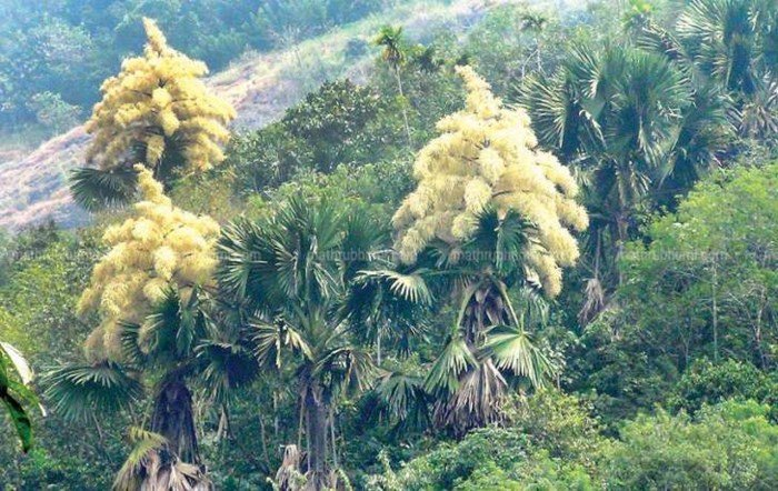 Cây Tahina spectabilis