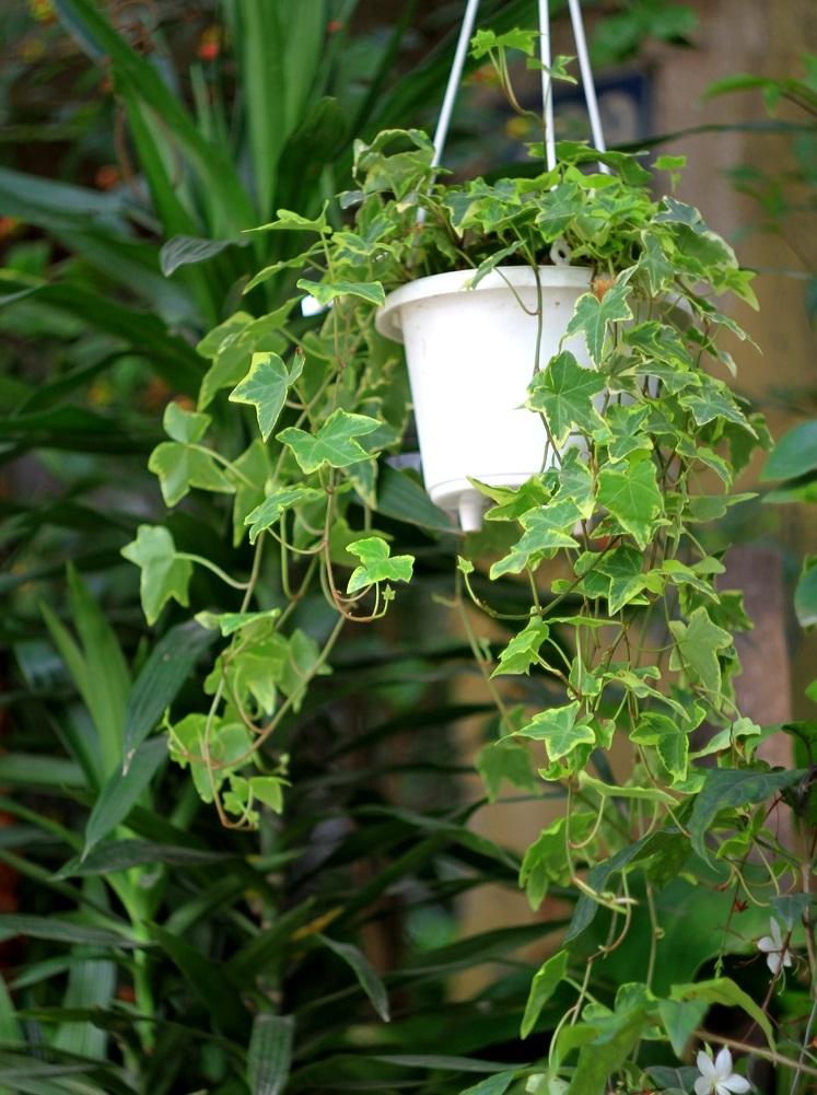 Cây thường xuân với tán lá rậm rạp giúp hút sóng bức xạ hiệu quả