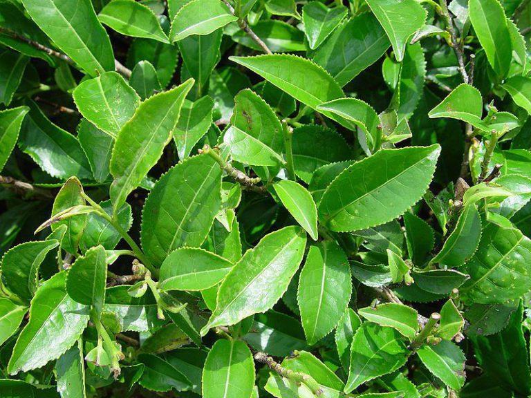 Cây trà