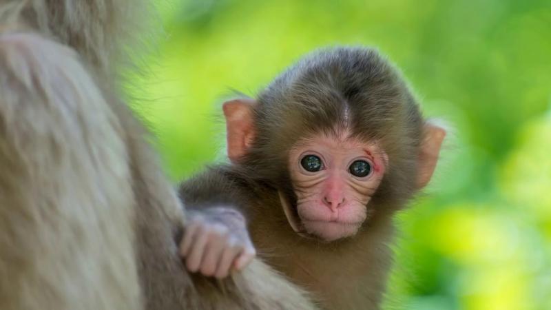 Khỉ với bản tính thông minh và có pha một chút tinh quái