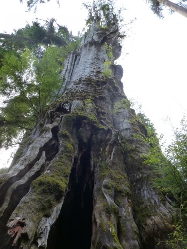 Hồ Quinault Redcedar Red Cedar, Hoa Kỳ