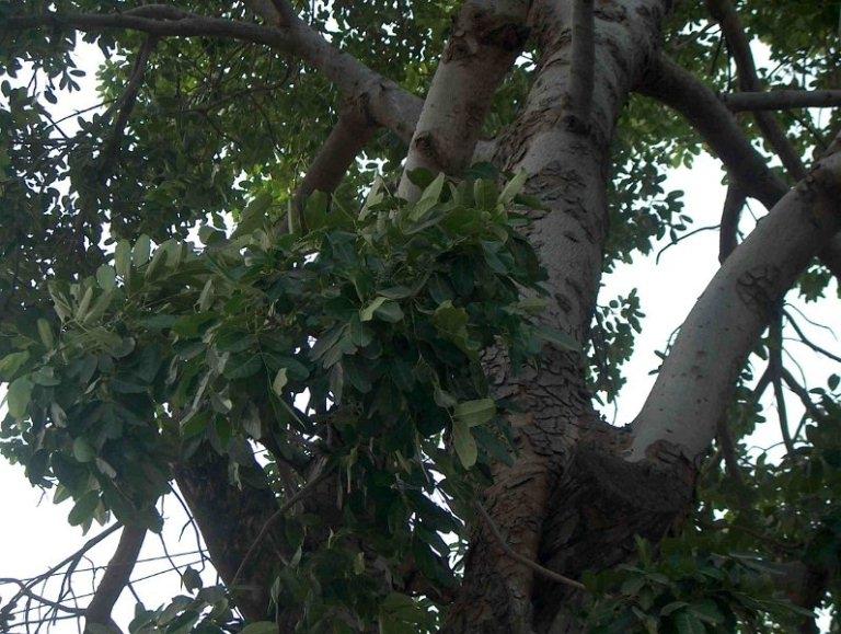 Nhìn từ xa, cây xà cừ như một người khổng lồ đội chiếc mũ màu xanh thẫm.