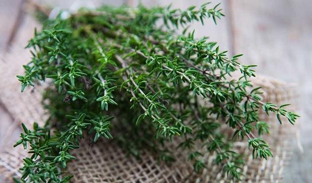 Cây xạ hương có tác dụng tốt trong việc giảm viêm dạ dày, khó tiêu và đau bụng