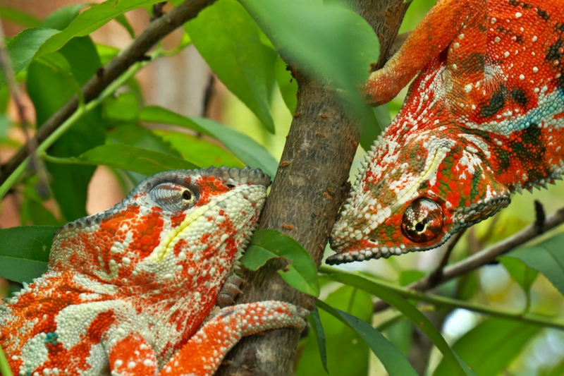 Chameleon Under Pressure Nature - Christian Ziegler