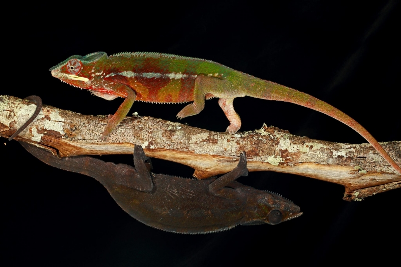 Bộ ảnh Chameleon Under Pressure Nature  của nhiếp ảnh gia Christian Ziegler - Nguồn Internet