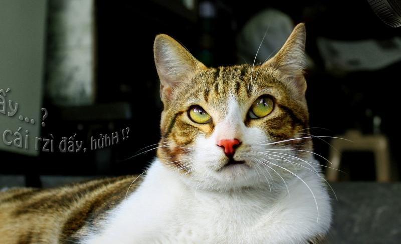 Chảnh mèo