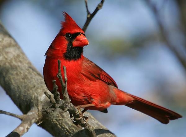 Chào mào đỏ phương Bắc - The Northern Cardinal
