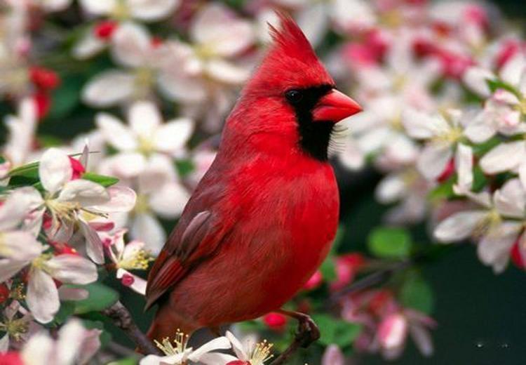 Chim hồng y giáo chủ