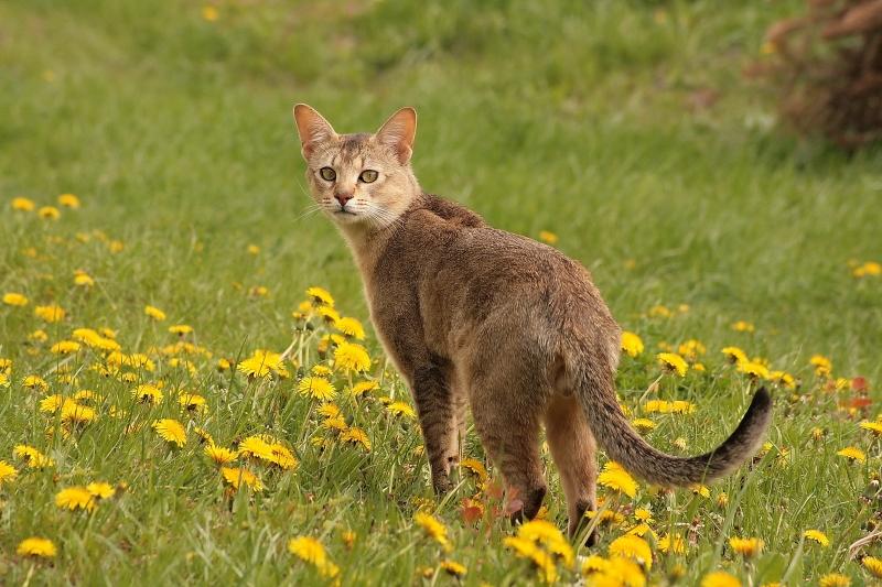 Chausie không phải là giống mèo thích hợp với những gia đình có trẻ nhỏ