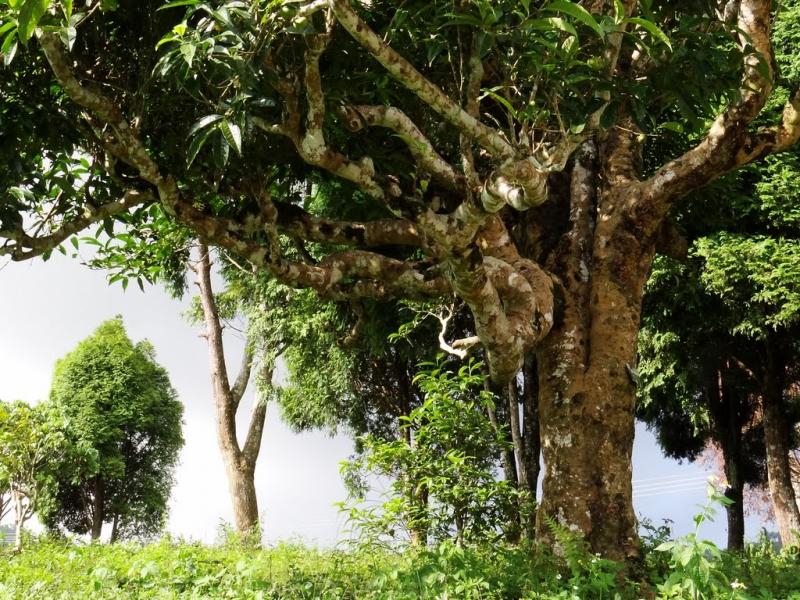 Những cây chè cổ thụ phát triển qua hàng chục, thậm chí hàng trăm năm